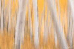 Autumn Aspen Abstract