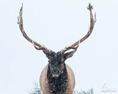 Elk Stare down in Winter