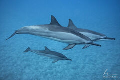 Family of Spinner Dolphins