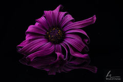 Purple Flower & Reflection