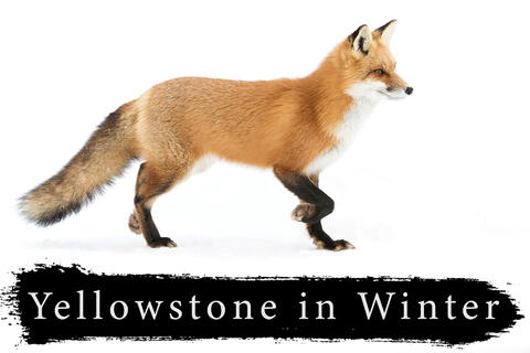 Yellowstone Winter Photography Workshop | January 7-9 2022