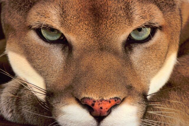 Frans-Lanting-Mountain-Lion