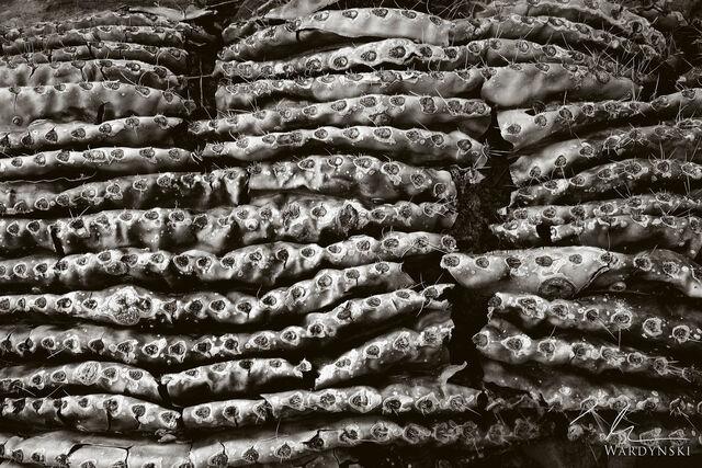 Layers of Saguaro