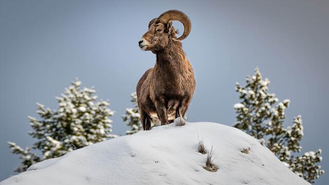 Winter Wildlife Photography Workshop - Bighorn sheep