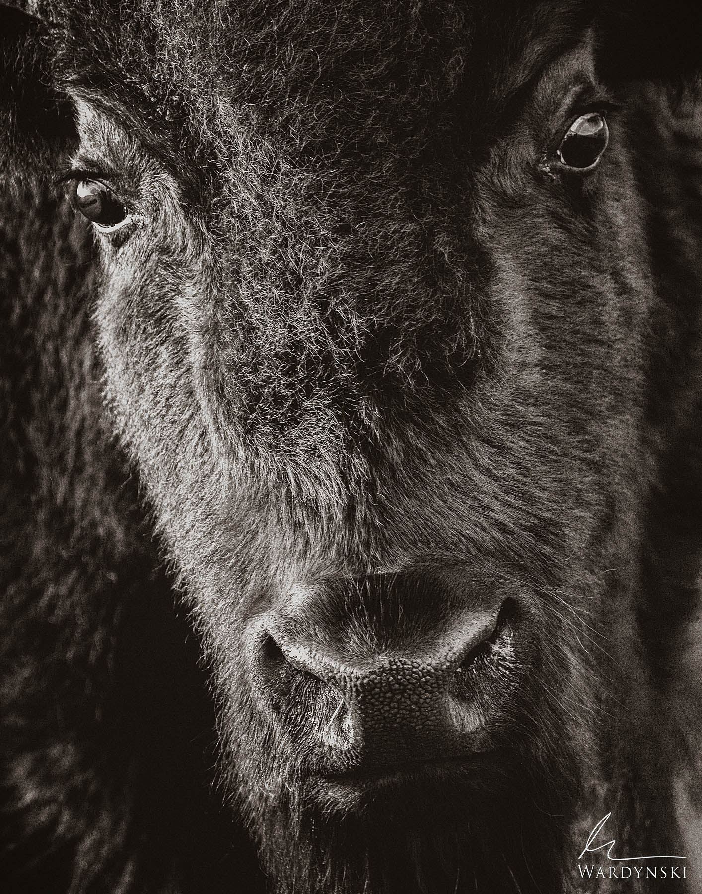 Sepia Fine Art Print | Limited Edition of 100  The American Bison is unlike any other wildlife in the United States. Perhaps...