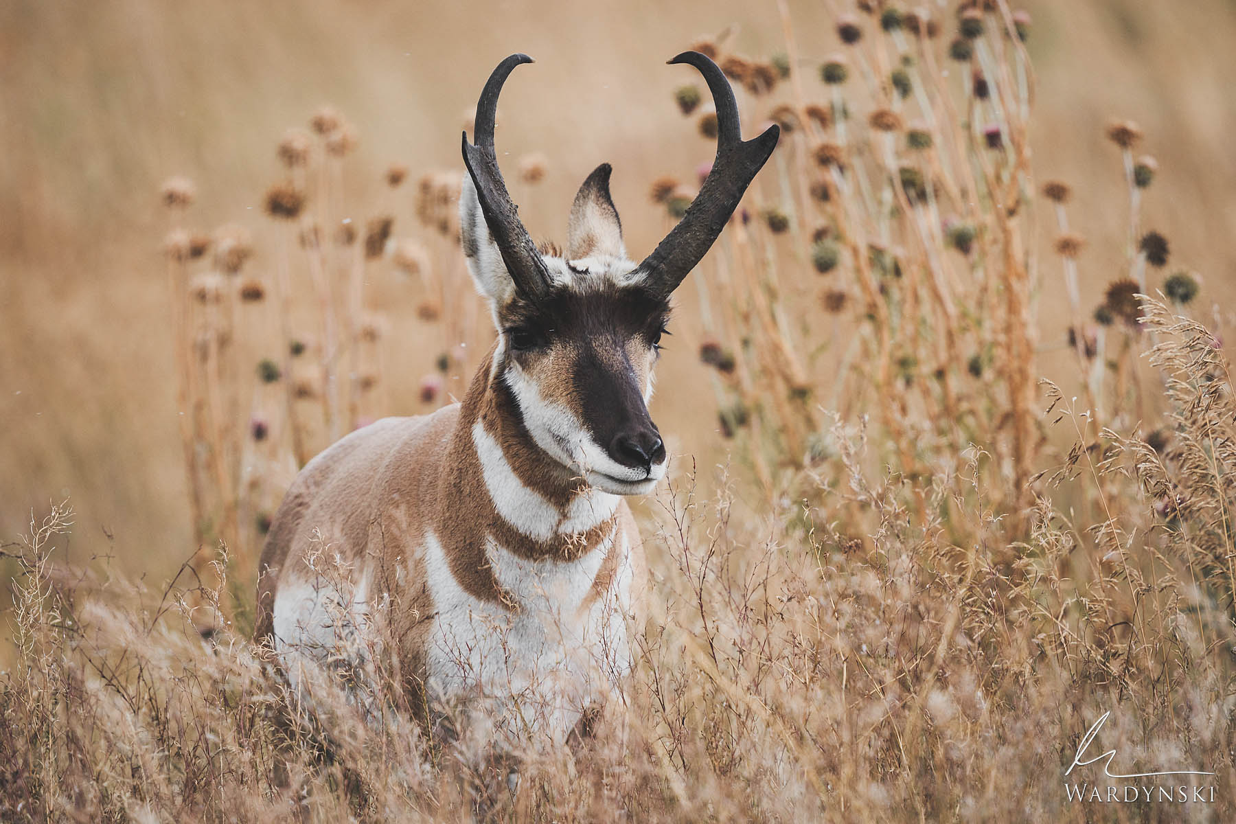 Fine Art Print | Limited Edition of 35  Pronghorns get their name from the short prong on the front of their horns. While often...