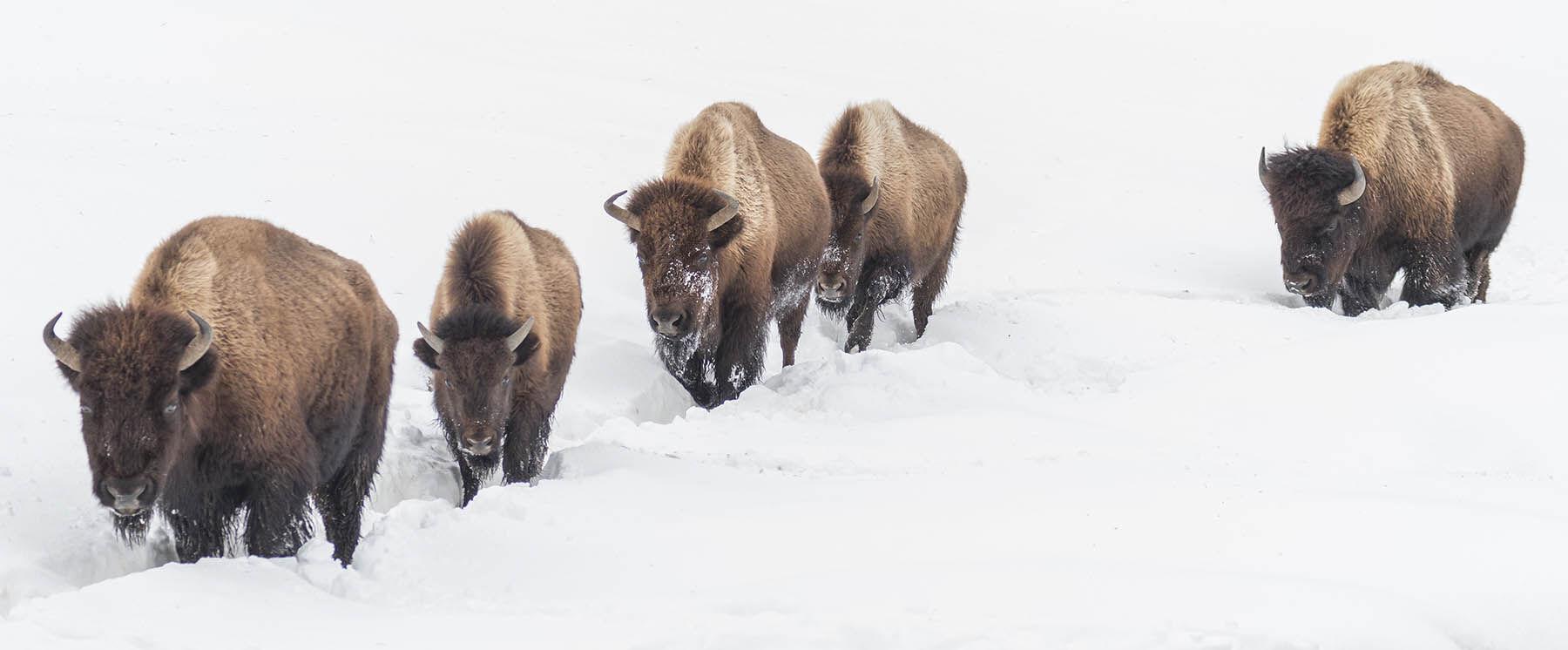 Bison trekking through the snow