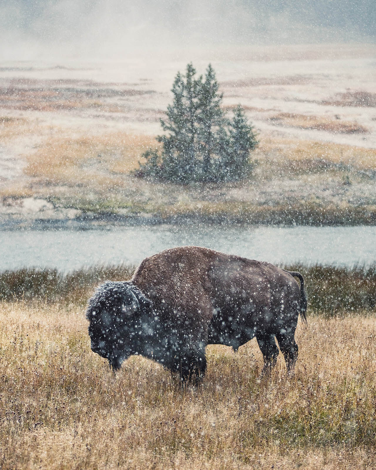 Buffalo standing in a snow storm in Yellowstone National Park, Wyoming.  Photography Workshop