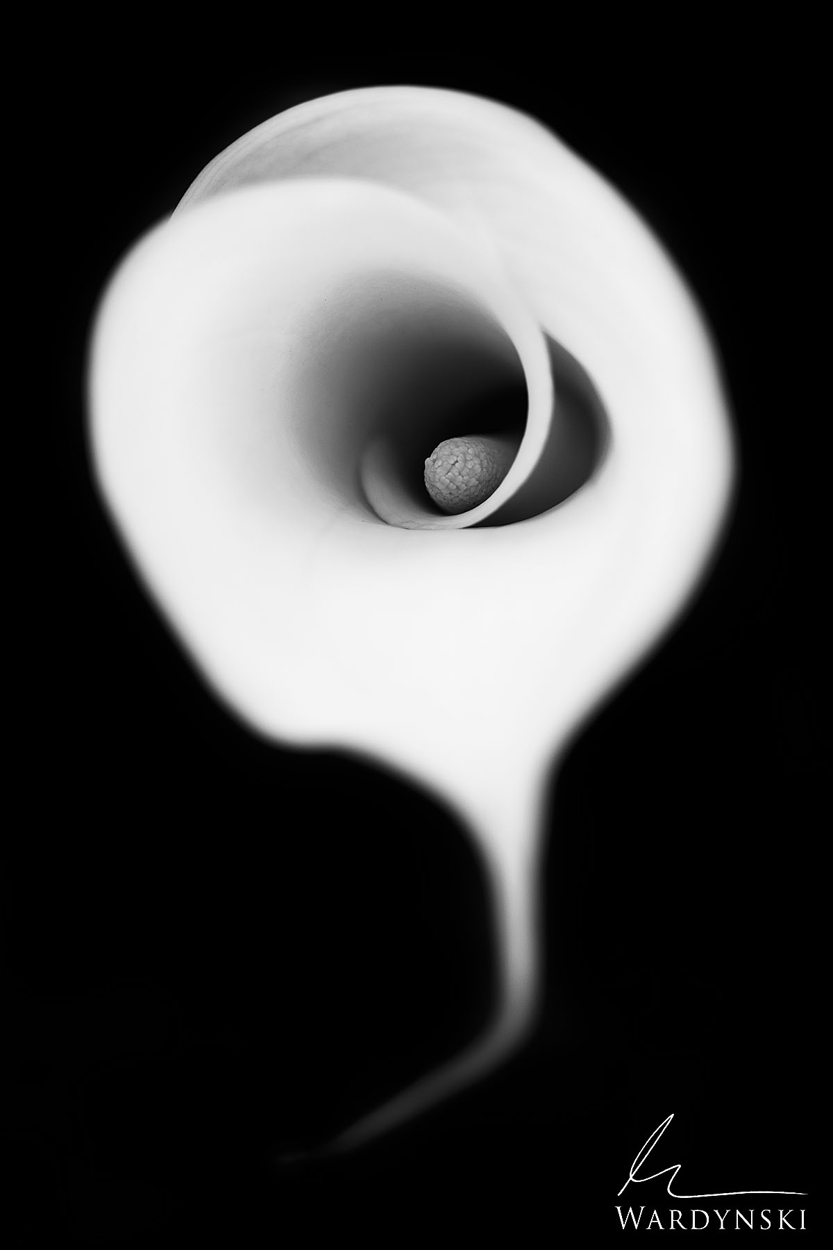 Black and White Fine Art Print | Limited Edition of 100  The Cala Lily is one of the most beautiful and sensual flowers in the...