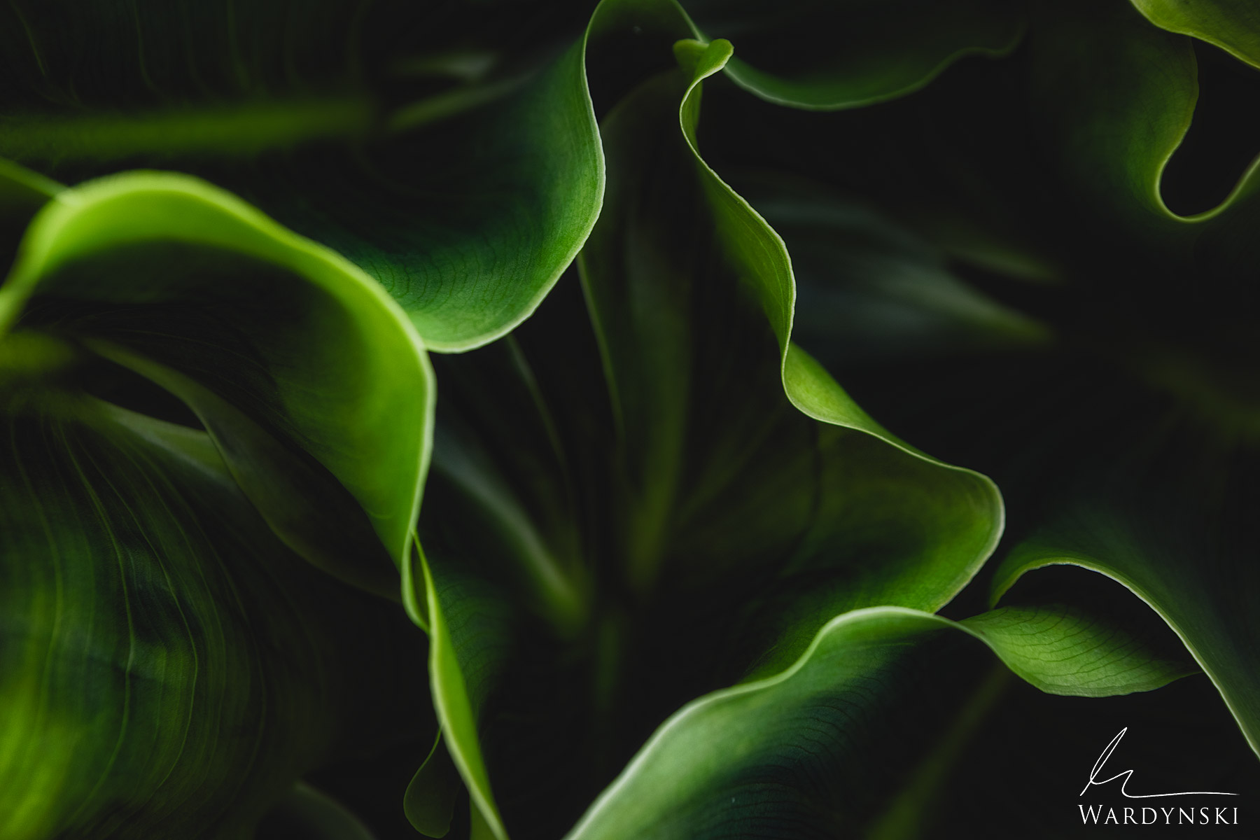 Fine Art Print | Limited Edition of 50 (Available in Sepia Tone) Green Cala Lilly leaves wave, bend and fold into one another...