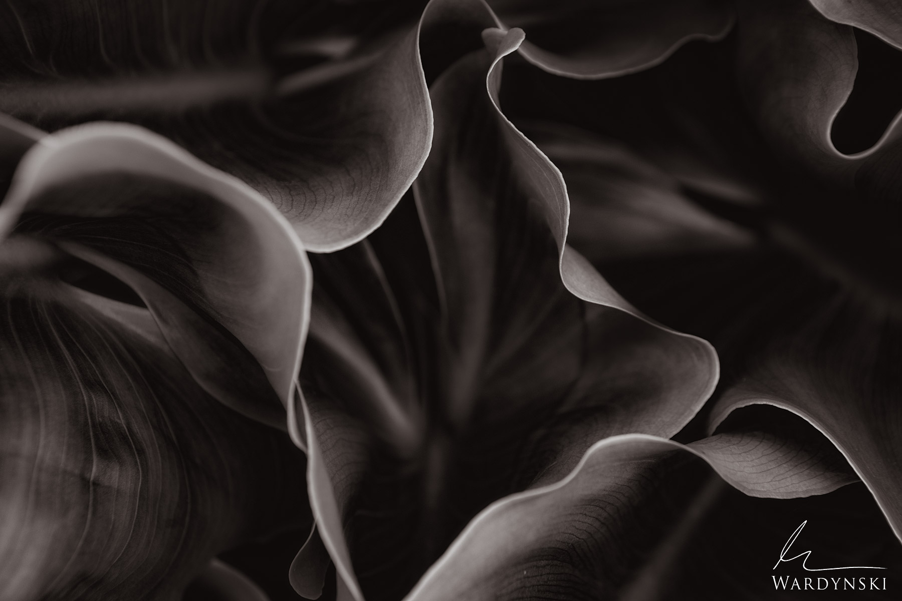 Sepia Fine Art Print | Limited Edition of 100 (Available in Color) Cala Lilly leaves fold in a pleasant and hypnotic fashion...