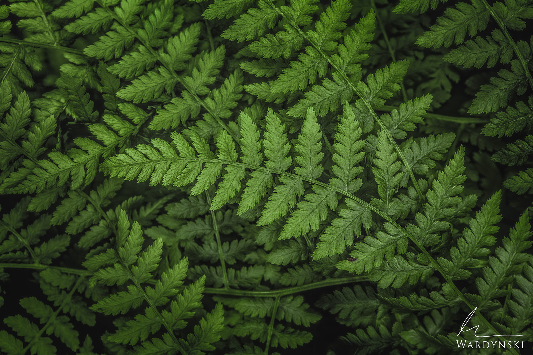 Fine Art Print | Limited Edition of 50  Green ferns intertwine with one another in the lush forest of New Zealand. There are...