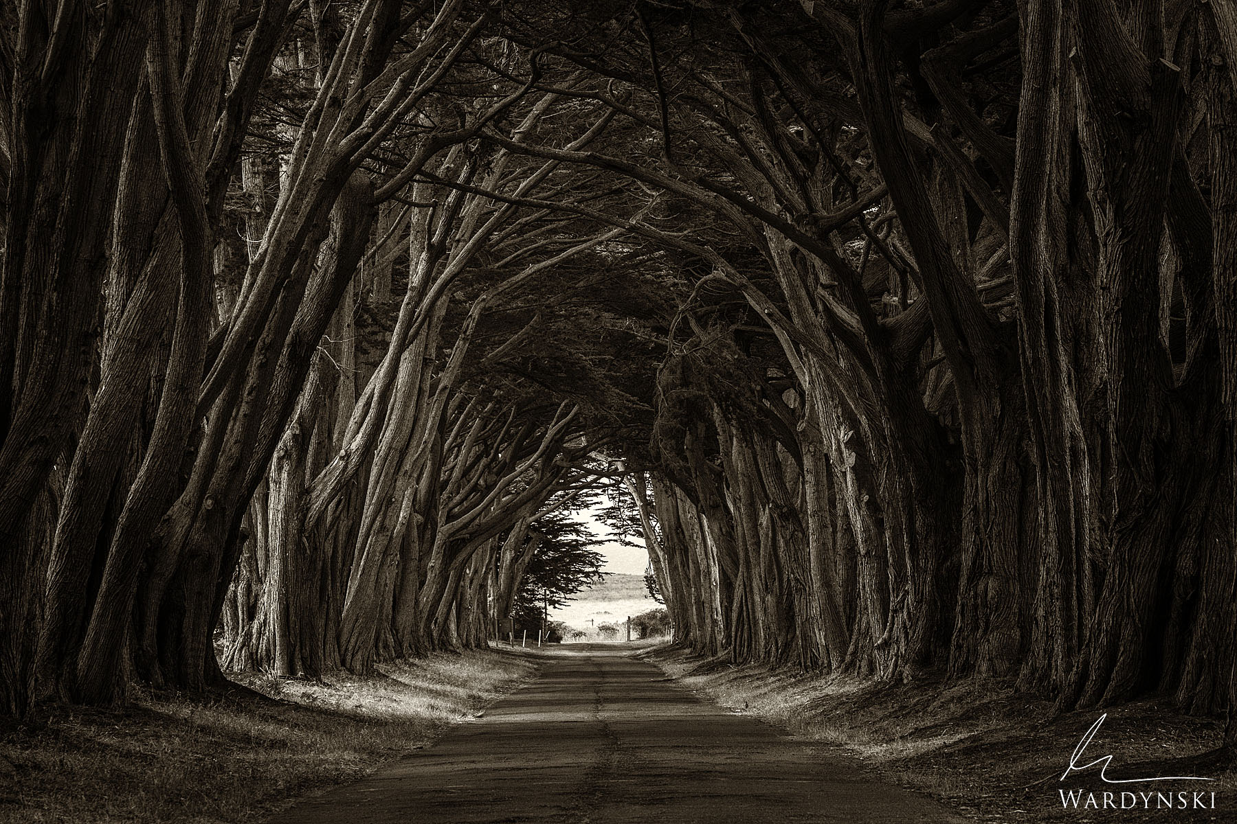 Sepia Fine Art Print | Limited Edition of 50  A row of Monterey Cypress Trees line a driveway along the Point Rayes National...