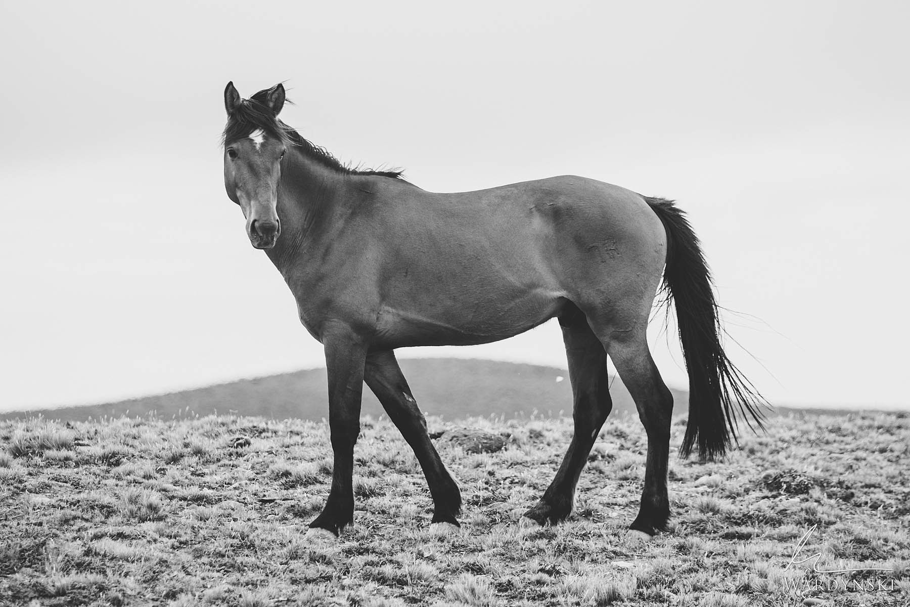 Black ad White Fine Art Print | Limited Edition of 35  Stopped in mid stride, a wild horse looks over its shoulder to see if...