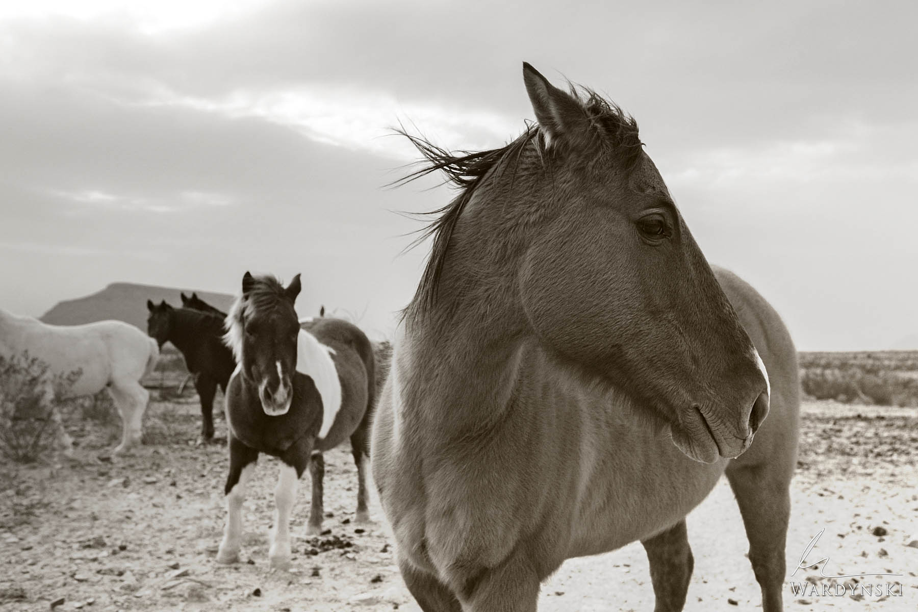 Sepia Fine Art Print | Limited Edition of 25  A wise horse stands in the Texas desert while wind whips through the open plains...