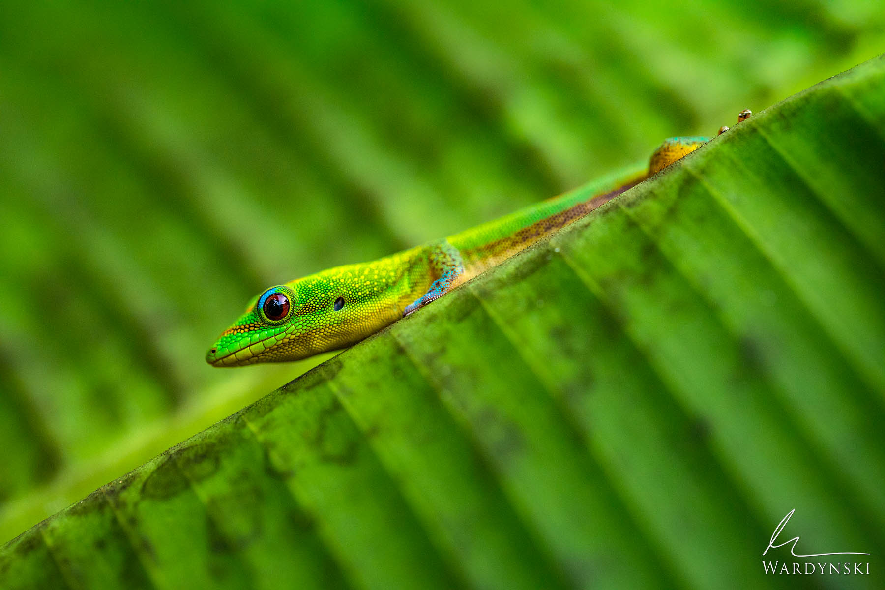 Fine Art Print | Limited Edition of 35  A gold dust day gecko sits on a broad green leaf on the island of Hawaii. These Geckos...