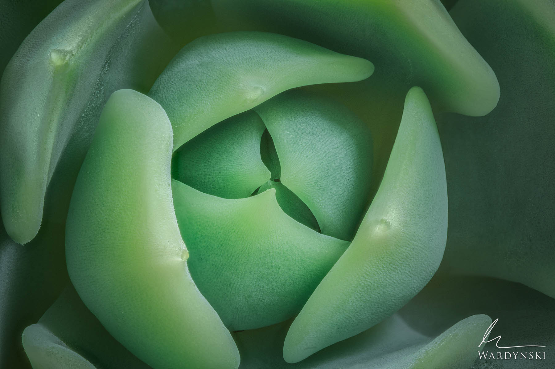 Fine Art Print | Limited Edition of 25  Green succulent leaves hug one another as new leaves are exposed to the world for the...