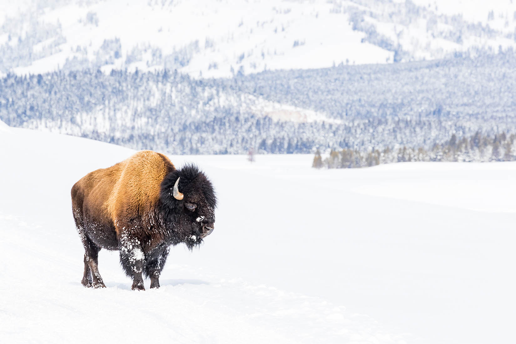lone bison covered in snow photography in snow