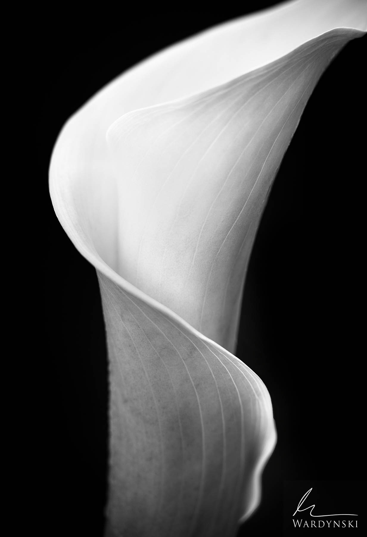 Black and White Fine Art Print | Limited Edition of 100  The petal of a Cala Lily flower spirals around itself as it begins to...