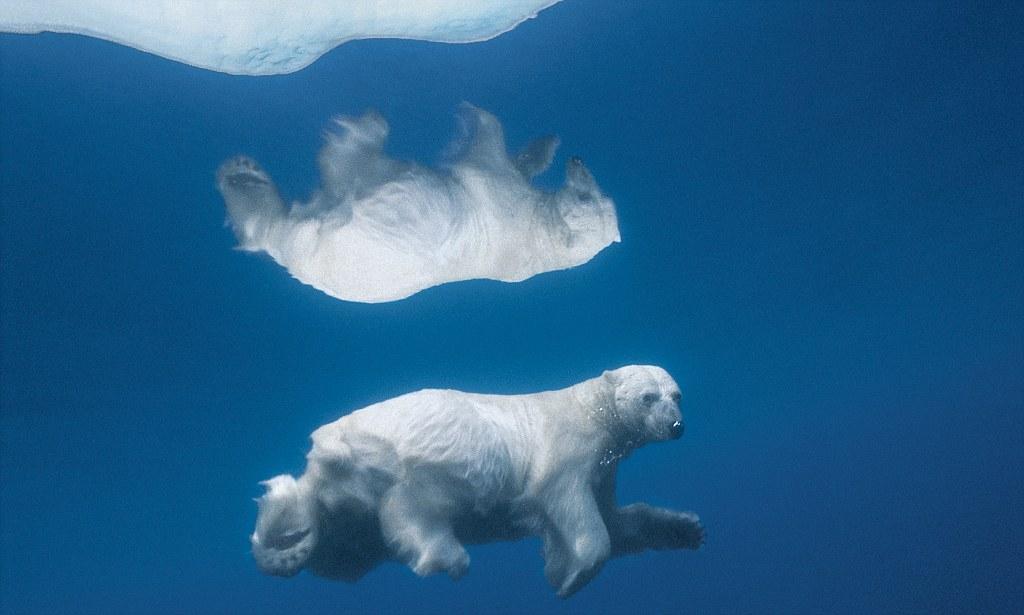 Paul Nicklen polar bear