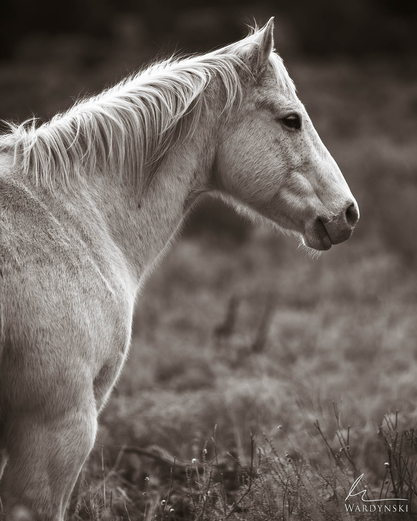 Sepia Fine Art Print | Limited Edition of 35  The profile of a white mustang shows off his impressive build yet gentle demeanor...