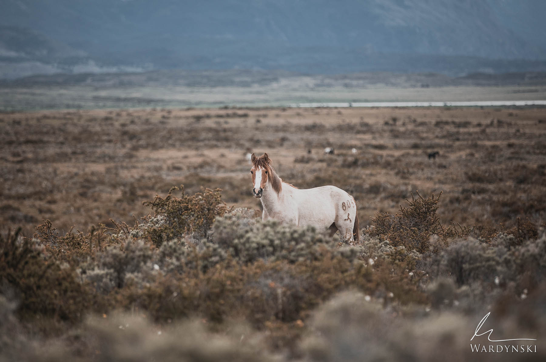 Fine Art Print | Limited Edition of 25  A wild horse casts a gaze just outside of Puerto Natales, Chile in Patagonia.