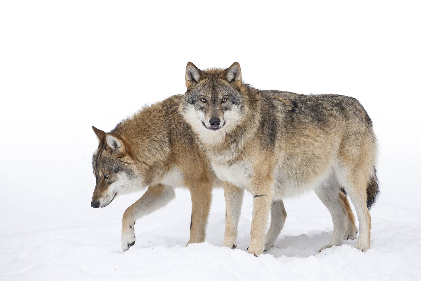 wolves in Yellowstone during winter
